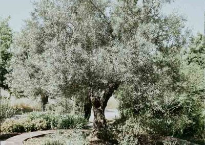Garden with an olive tree